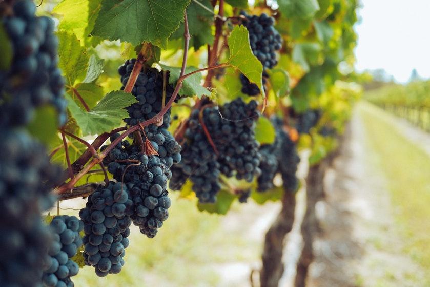 Is de wijn dit jaar op? Vorst verwoest de Franse druivenoogst