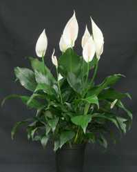 Spathiphyllum-Lepelblad