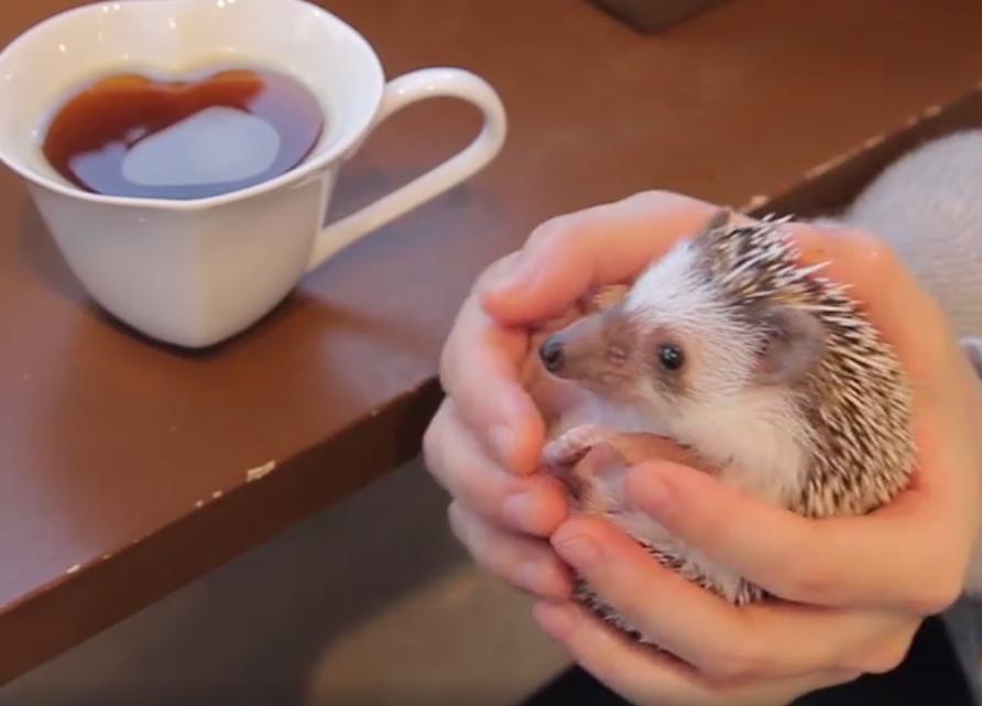 In Tokyo bestaat een waar egeltjescafé en daar willen we nú naar toe