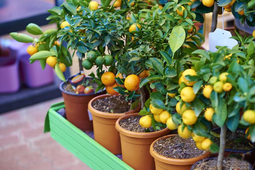4 x fruitboompjes die je gewoon binnen (#gezelligheid) kunt laten groeien