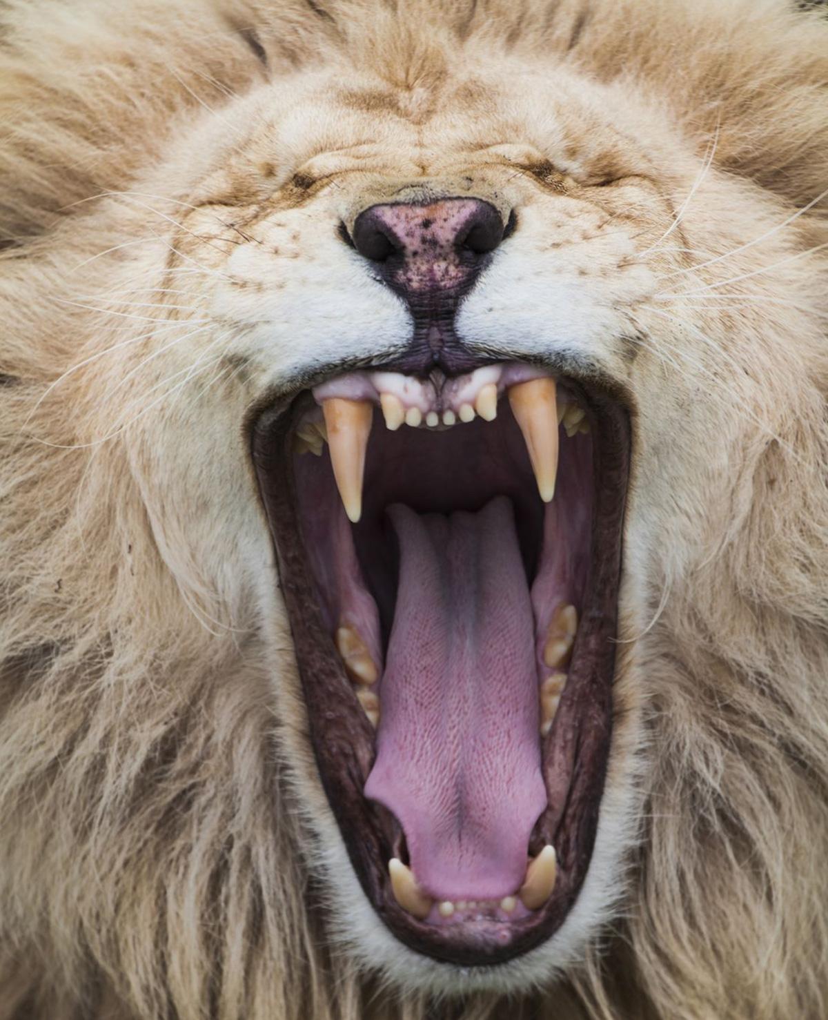 Teckel maakt gebit van leeuw schoon