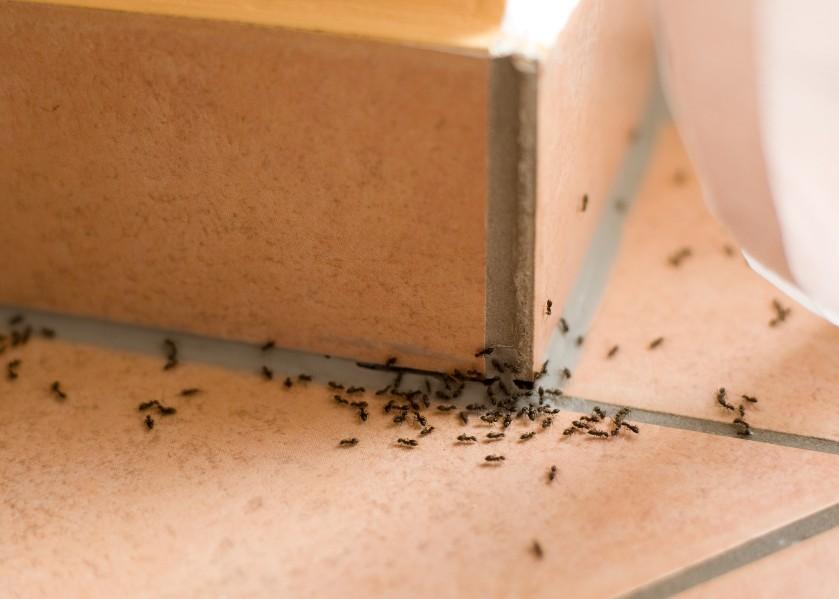 Na de eikenprocessierups en vliegende mieren: maak je borst maar nat voor de mediterrane draaigatjes
