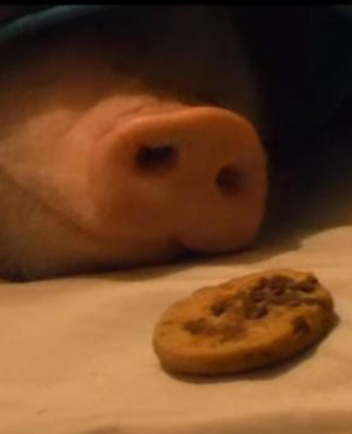 Slapend varkentje wordt wakker van koekjes