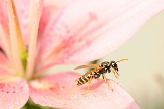 Tips van een deskundige: zo houd je wespen op afstand