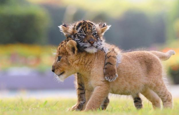 CUTE: babyleeuw en babytijger zijn de beste vriendjes