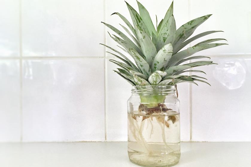 Hoe leuk: zó kweek je je eigen ananasplant (en het is supersimpel)