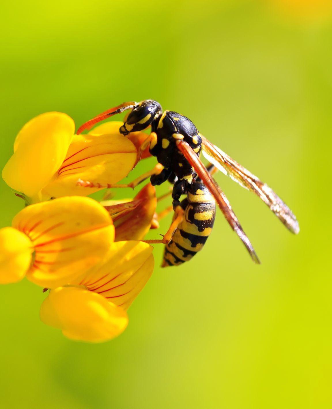 Help! Ook zo'n last van wespen?