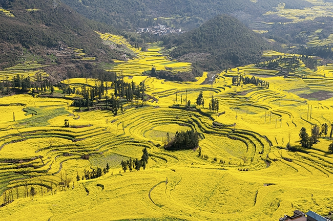 Canola-Flower-Fields-China