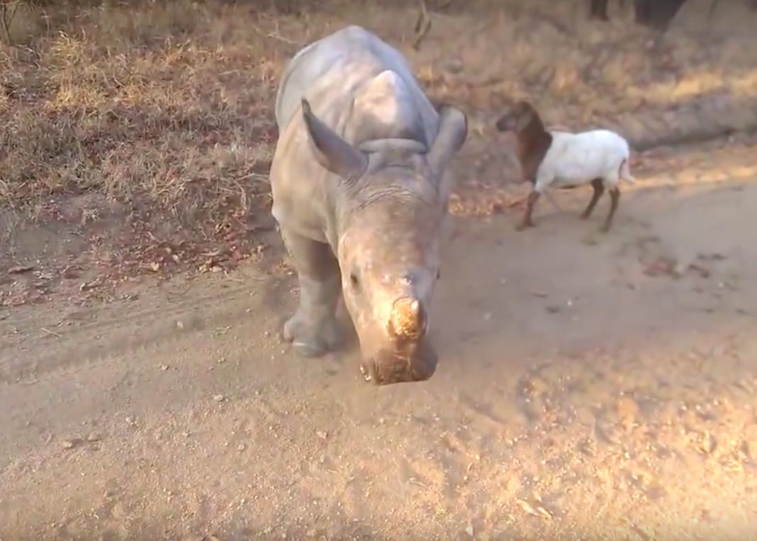 Video: Baby neushoorn denkt dat hij een lammetje is