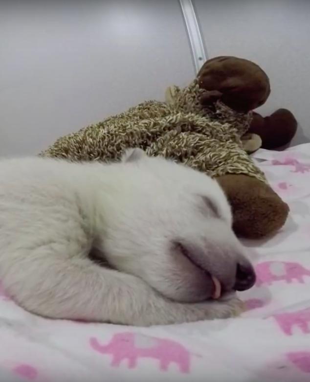 Waar droomt dit ijsbeertje toch over?