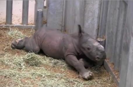 Deze neushoorn werd geboren op de dag van de aanslagen in Brussel