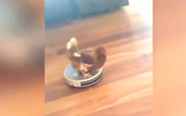 Kip rijdt op roomba