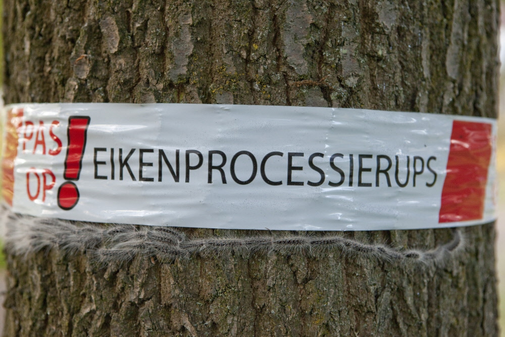 Waarom er wordt gewaarschuwd voor de eikenprocessierups