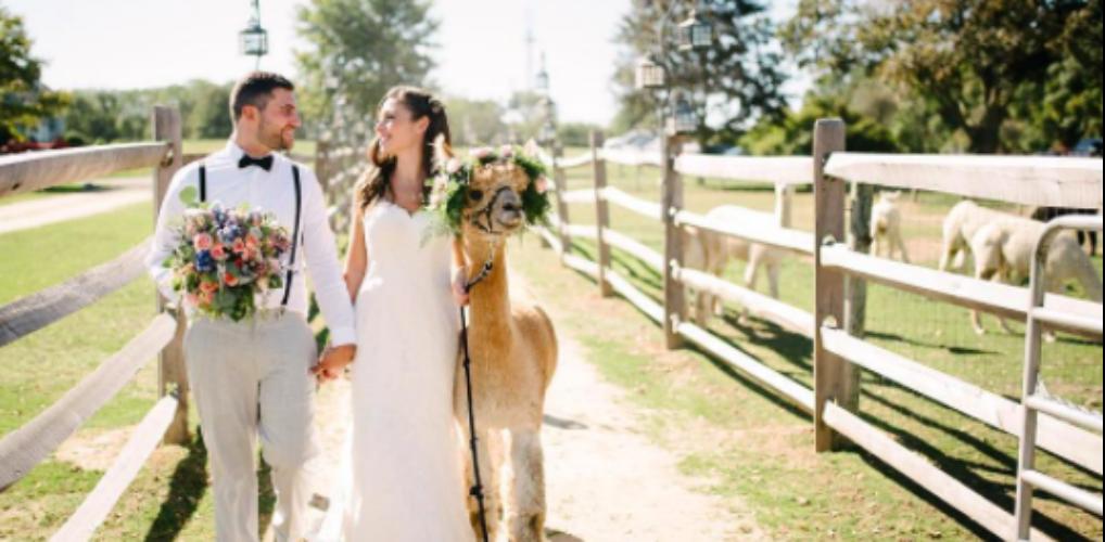 Dit wil je: een bruiloft op een alpacaboerderij