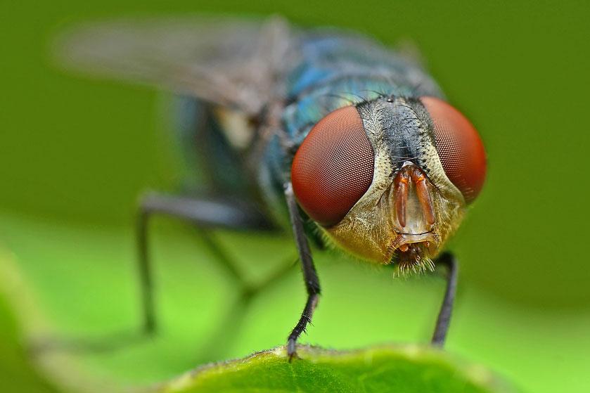 We eten allemaal per ongeluk fruitvliegjes (en dat blijkt helemaal niet zo erg)