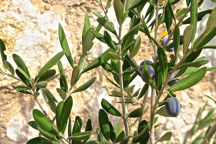Hebben! Hier scoor je deze week een olijfboom voor slechts vijftien (!) euro