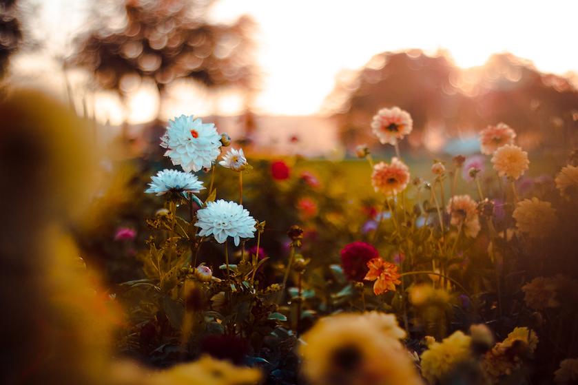 Déze 5 bloemen bloeien juist in de herfst: hoe gezellig is dat?