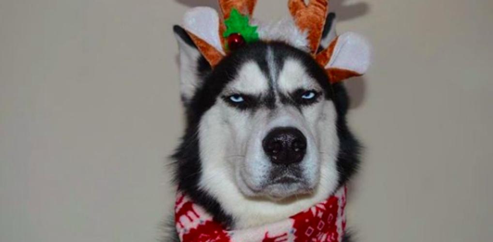 Deze husky is overduidelijk écht geen fan van kerst