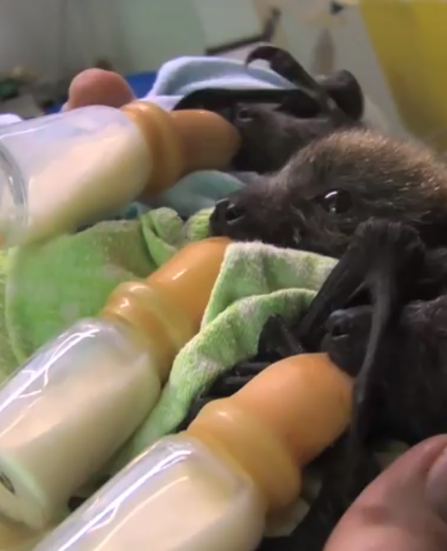 Baby vleermuizen worden vertroeteld