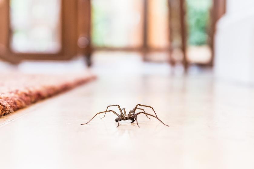 Dankzij dit kruidenplantje heb je geen last meer van spinnen in huis