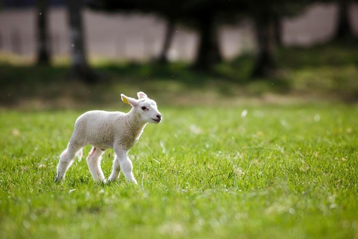 Té schattige: dit ontsnapte schaap ontfermt zich over een 'lammetje'