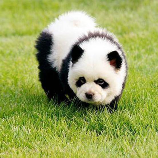 CUTE: 26 hondjes die net teddyberen zijn