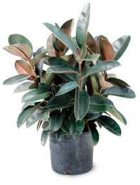 rubber_plant