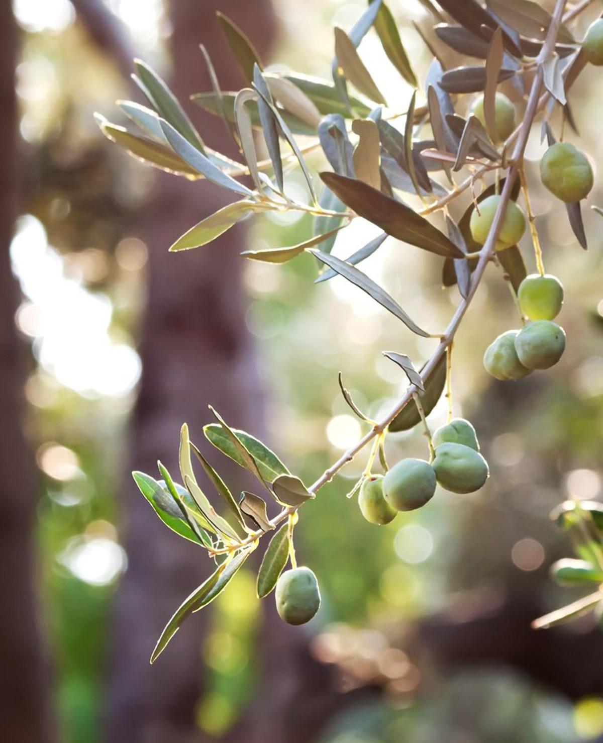 Zo herken je de perfecte olijfolie