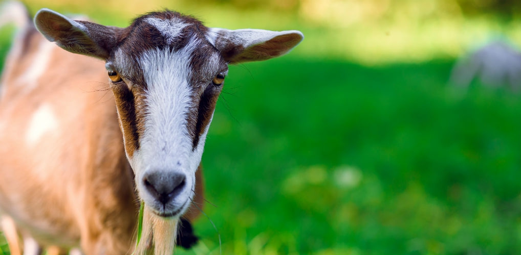 LOL: In Japan worden grasmaaiers vervangen door geiten