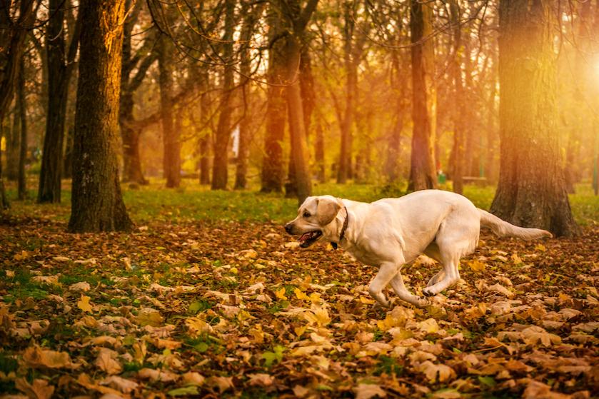 Zin in een herfstwandeling met je hond? Let op: dit kan levensgevaarlijk zijn voor je viervoeter