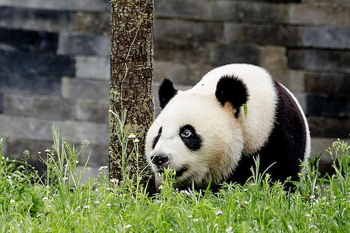 Pandastisch! Reuzenpanda's vanaf woensdag eindelijk te bewonderen