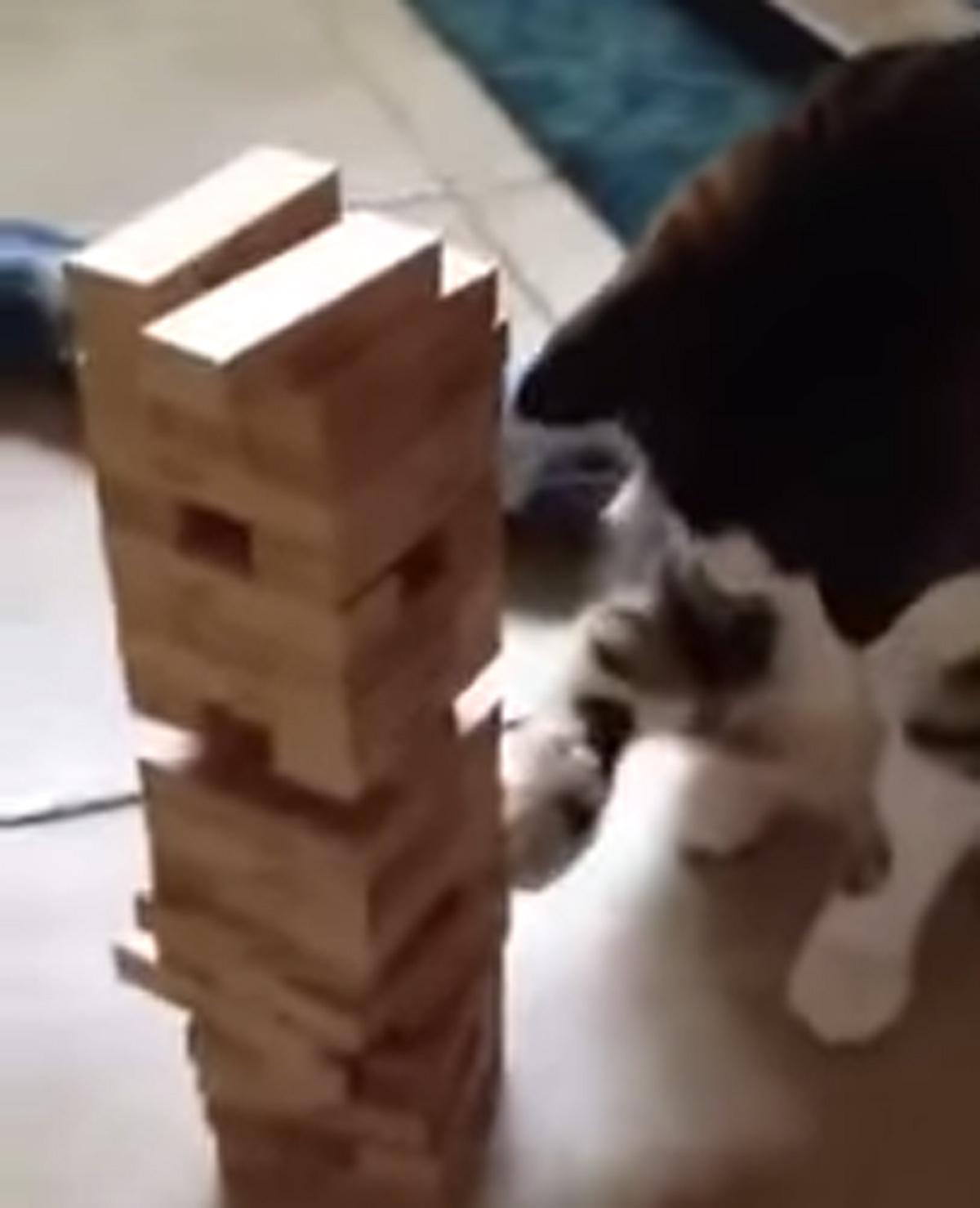 Deze kat speelt Jenga met zijn baasje