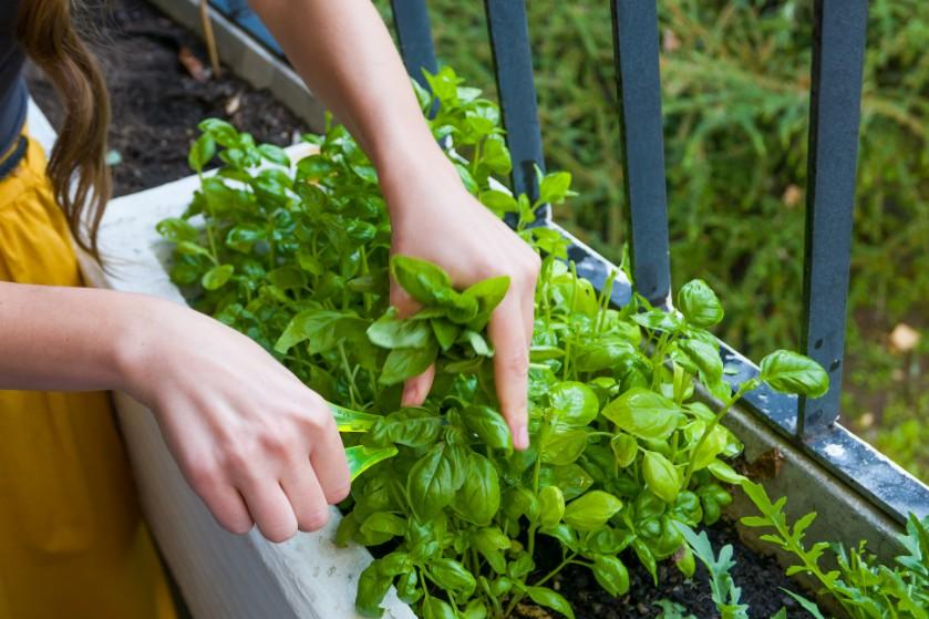 Hap Slik Zeg: 'Op mijn balkon verbouw ik minstens tien soorten groente of fruit'