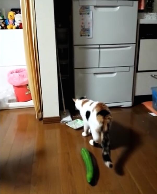 Katten schrikken zich een ongeluk van komkommers