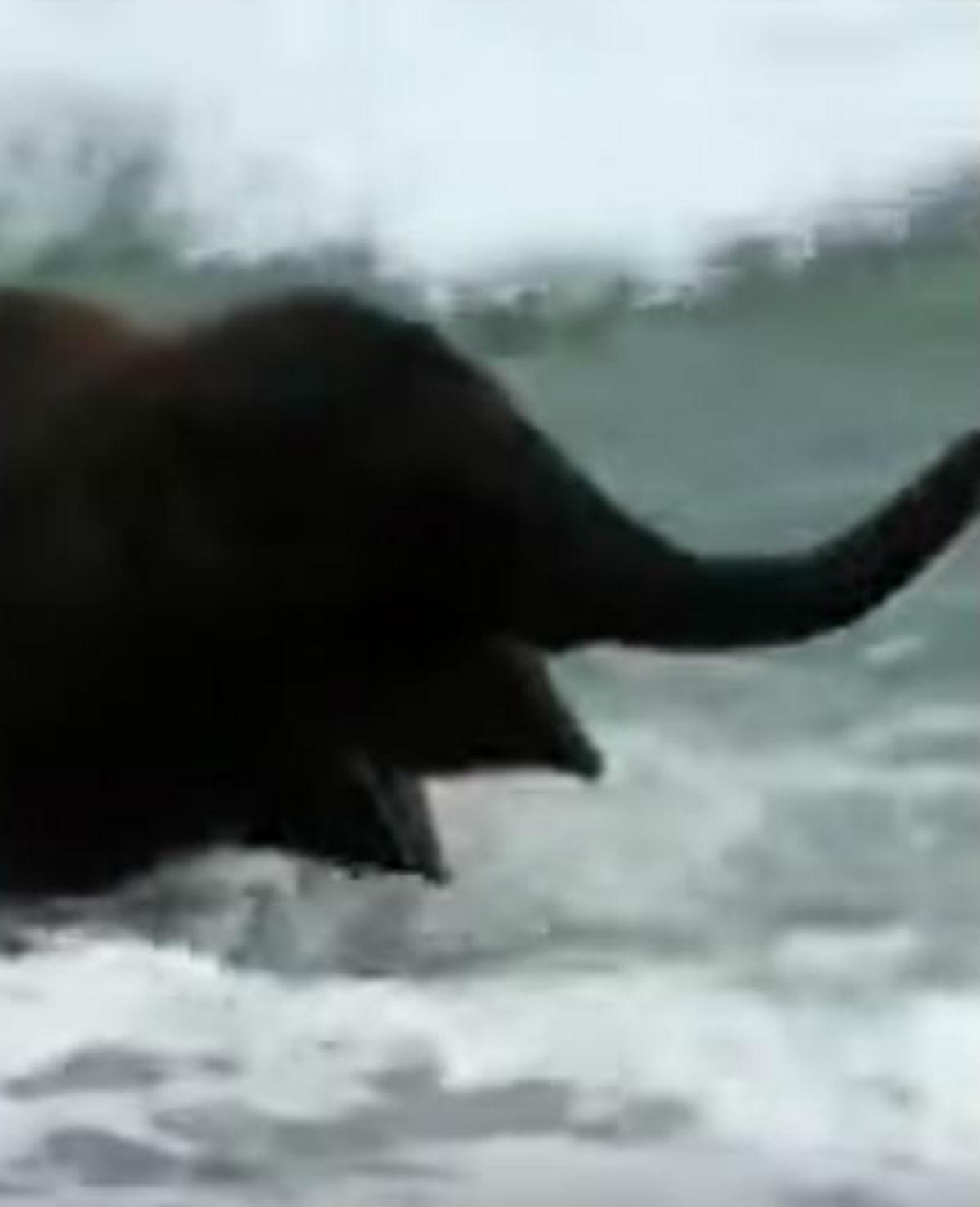 Babyolifantje gaat voor het eerst in zee