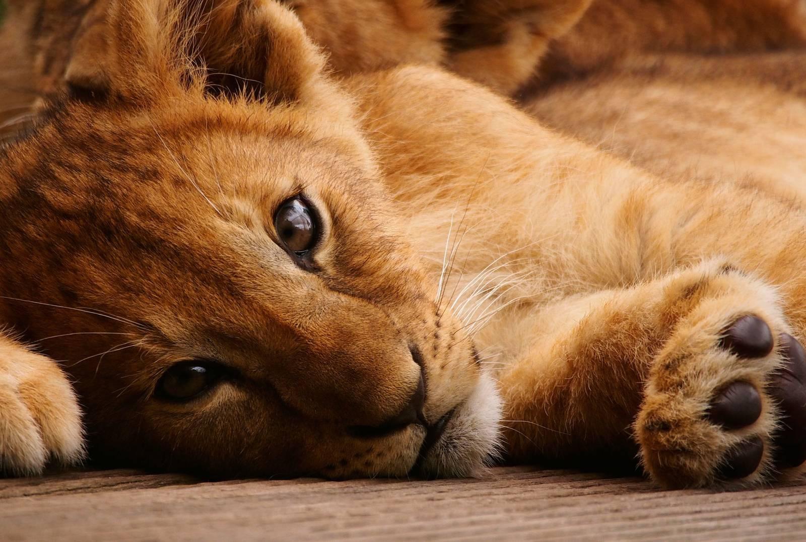 Aaaah, kleine leeuwtjes… Kom kijken!