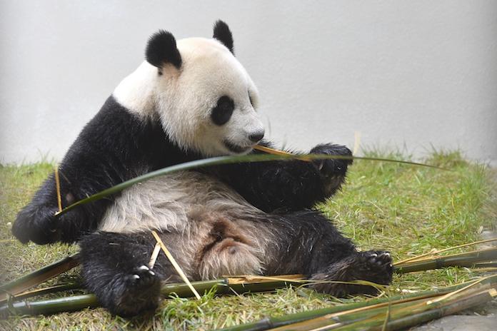 Éindelijk: de reuzenpanda's zijn as we speak onderweg naar Nederland