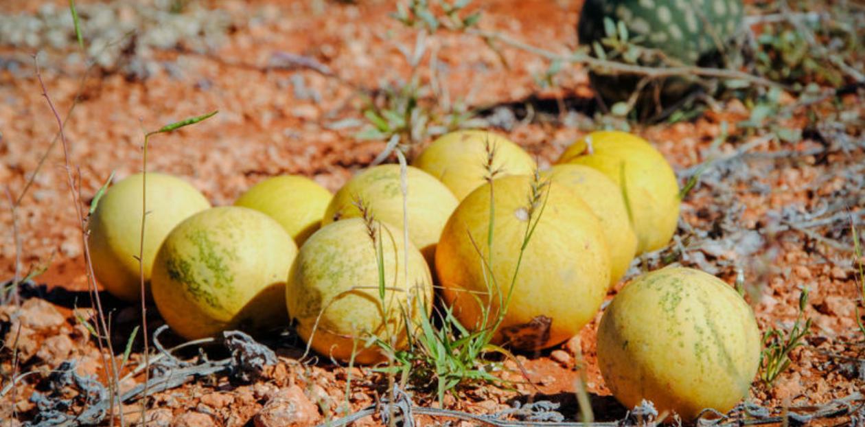 Hét nieuwe wondermiddel: Kalahari-olie
