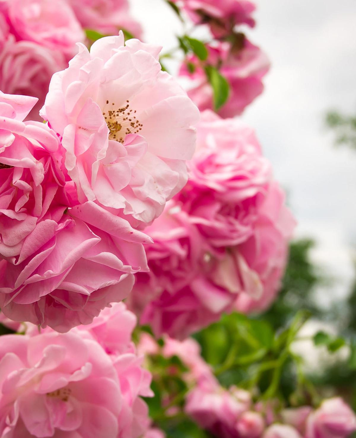 Where the wild roses grow – Maan & Ivan Peroti