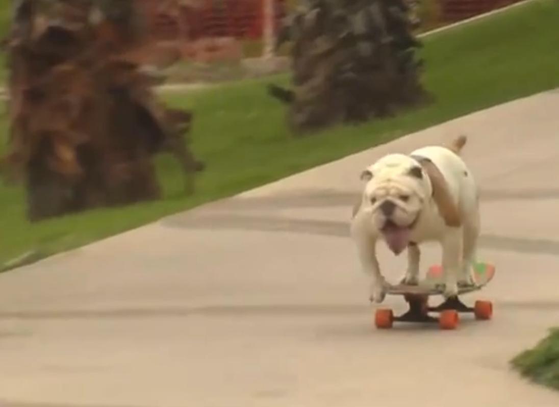 Bulldog Otto skatet als een baas