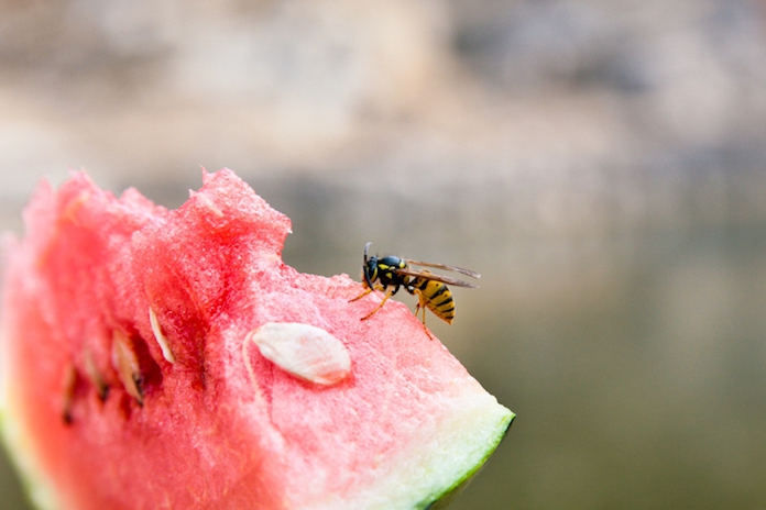 Last van wespen? Waarom het geen goed idee is om ze te vermoorden