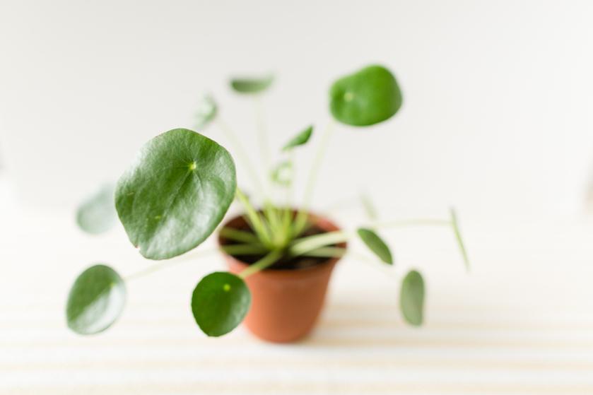 Pannenkoekenplant, move over! Dít wordt de kamerplant van 2019