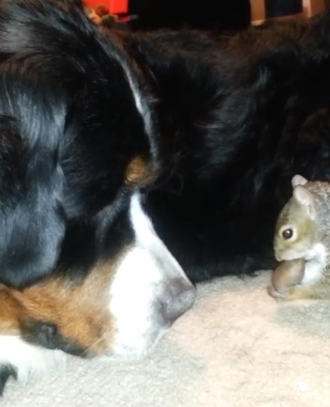 Eekhoorn verstopt nootje in hond