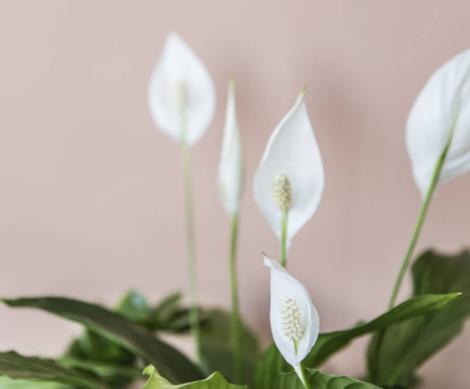 Deze plant zorgt voor een schonere lucht in huis