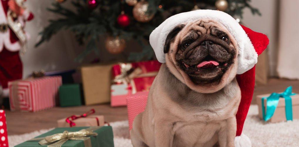 Merry Pugmas: dit pug café brengt je volledig in de kerstsfeer