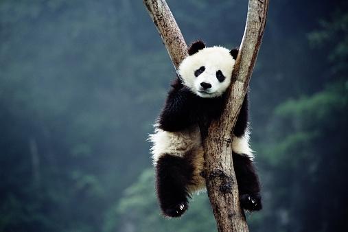 Nieuwe foto's: Belgische babypanda groeit goed en wordt steeds schattiger!