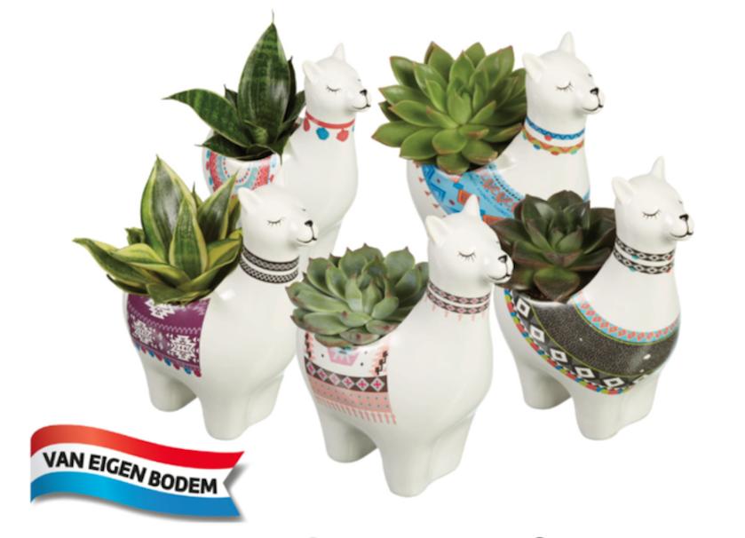Lidl alpaca planten