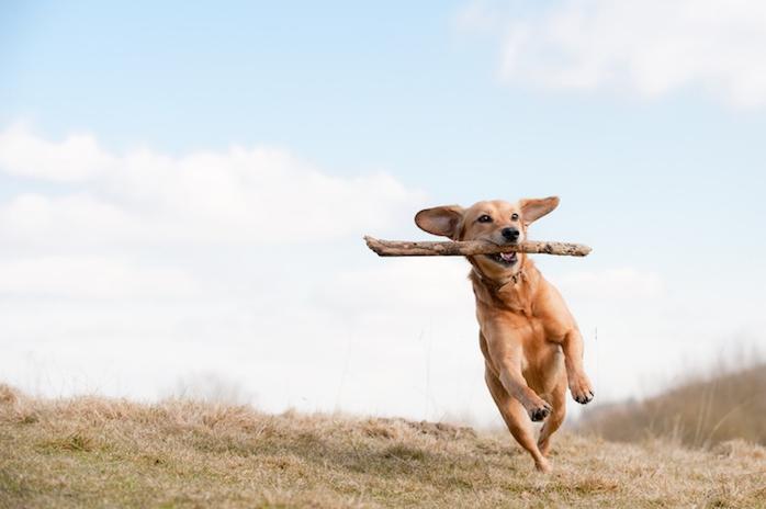 (Don't) Go fetch! 'Spelen met een stok kan gevaarlijk zijn voor een hond'