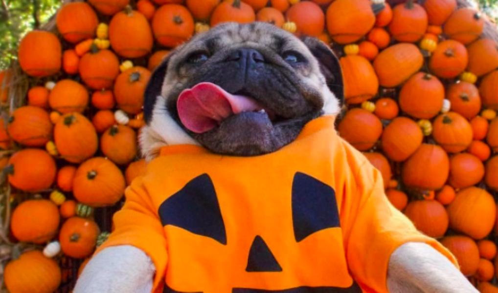 Te leuk: deze honden zijn al helemaal klaar voor Halloween