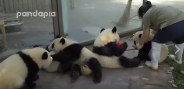 Video: deze schattige panda's bezorgen je geheid de slappe lach!